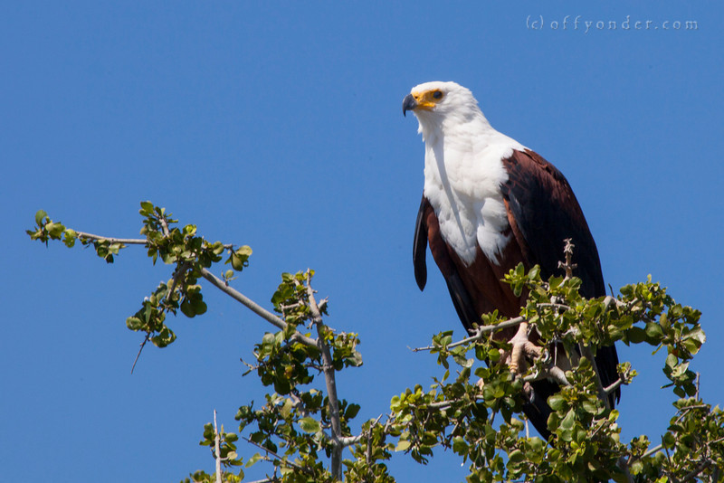 CHOBE NATIONAL PARK, BOTSWANA - African Fish Eagle (Haliaeetus vocifer)