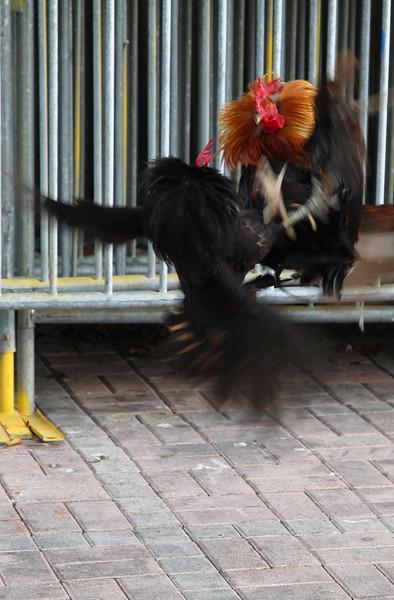 cocksfighting3.jpg