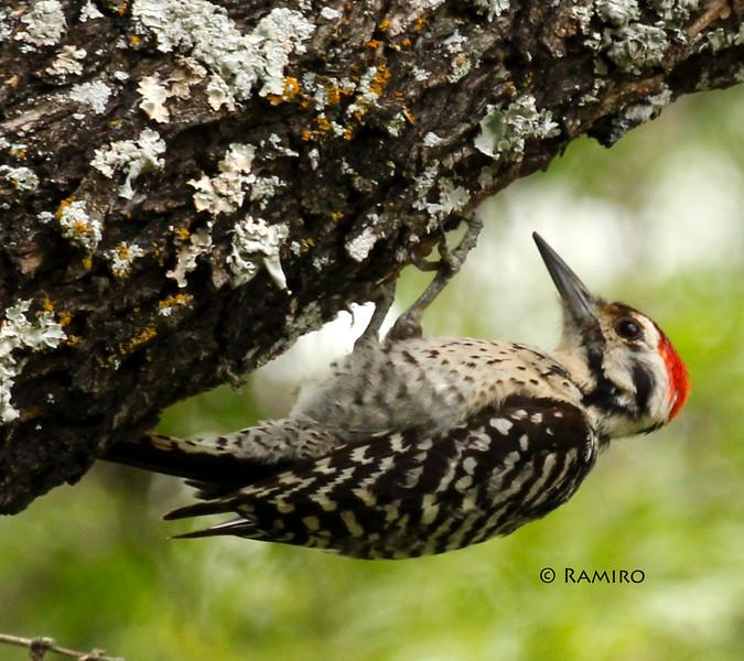 Woodpecker IMG_7452.jpg
