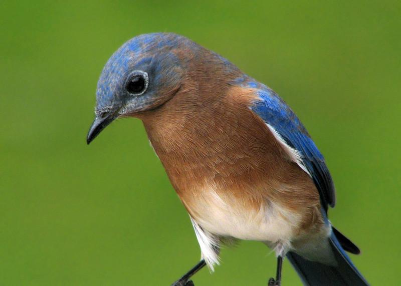 bluebird_fledgling_2588.jpg