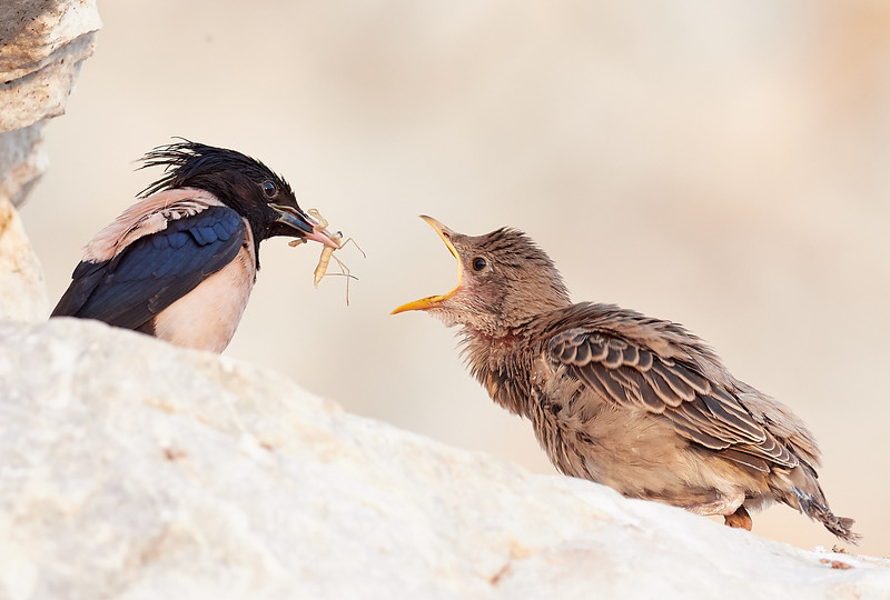 Rosy Starling  feeding chick
