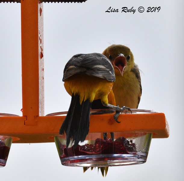 Dad and juvenile Hooded Orioles - 5/26/2019 - Backyard Sabre Springs