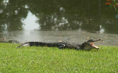 09 Our Alligator