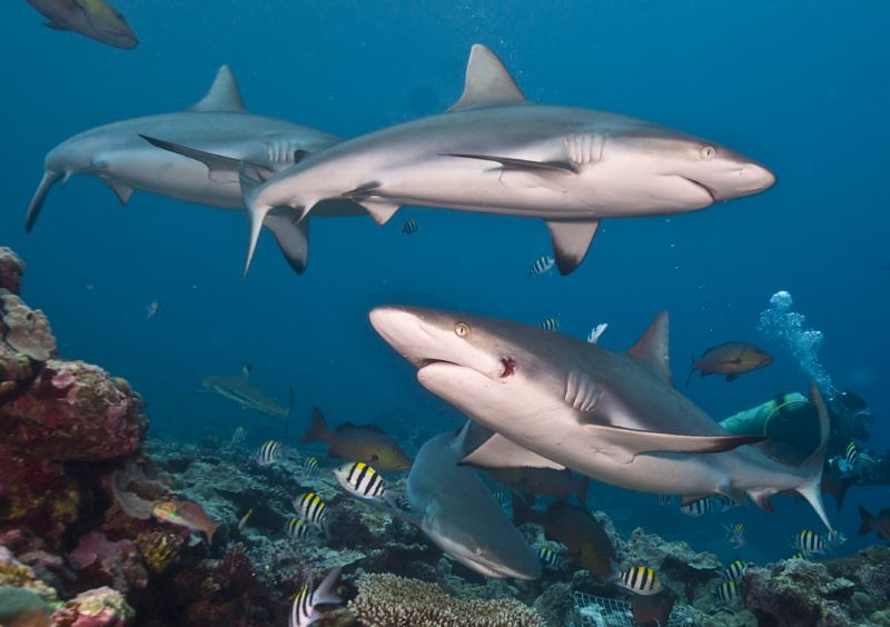 Sharks in Yap