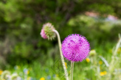 Close up view of purple thistle flower