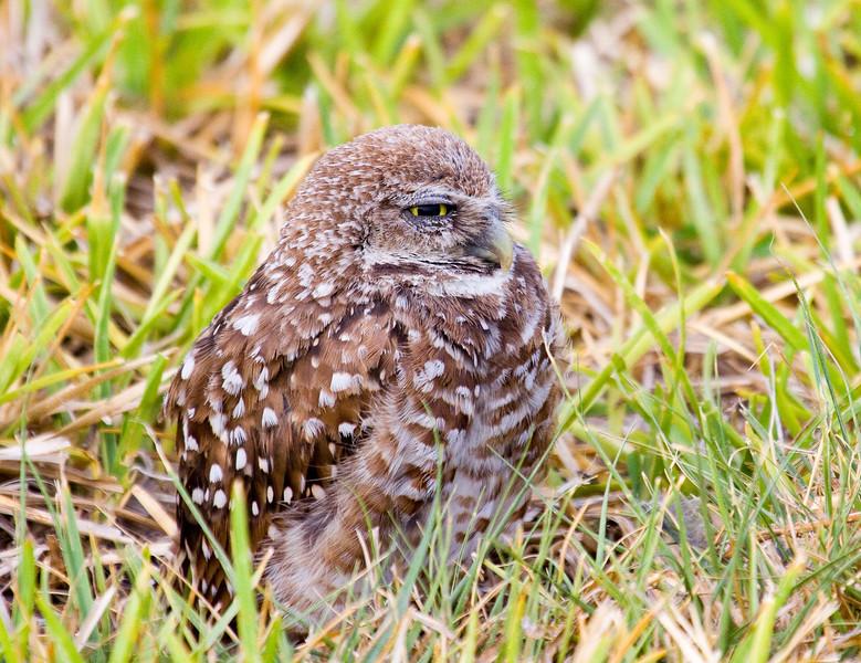 burrowing ground owl