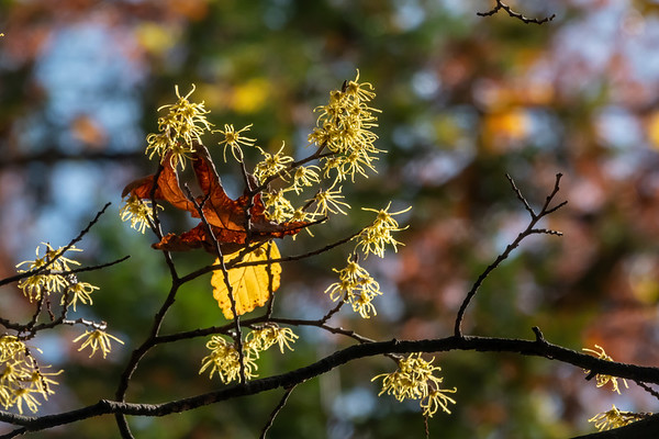 Witch Hazel trees and shrubs in fall