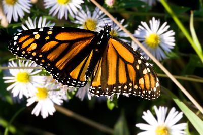 _DSC6379_butterfly
