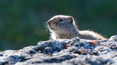 Uinta Ground Squirrel (Spermophilus armatus)