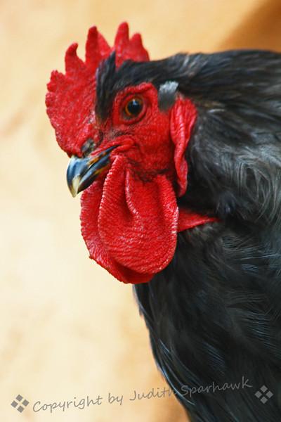 Rooster Portrait.jpg