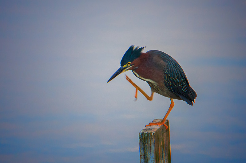 6.20.18 - Blackburn Creek Fish Nursery: Green Heron