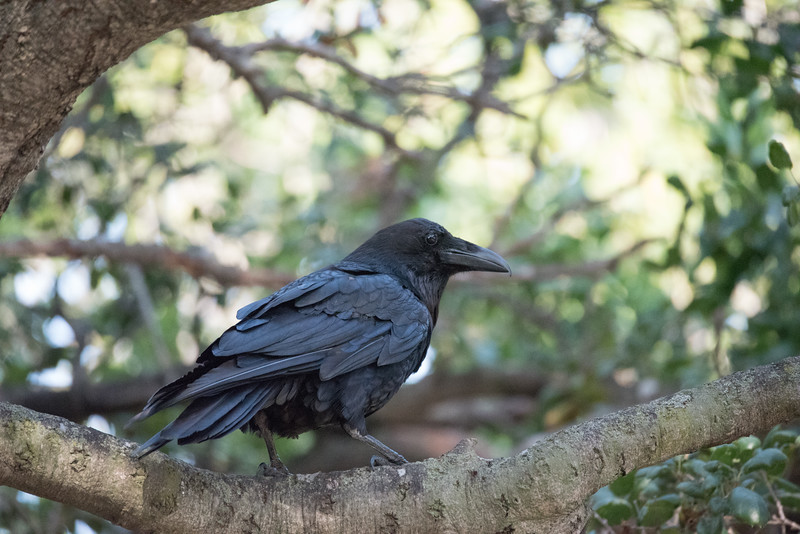 Common Raven perching in live oak tree.