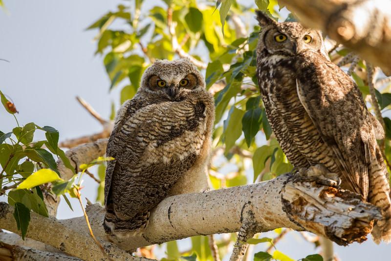 Great-horned Owl near Gardnerville  Nevada 2016 05 26-2.CR2