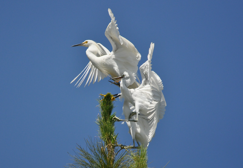 Egret Antics 14.JPG