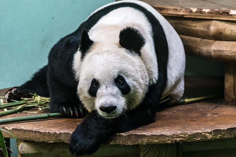 Edinburgh Zoo: Giant Panda 2