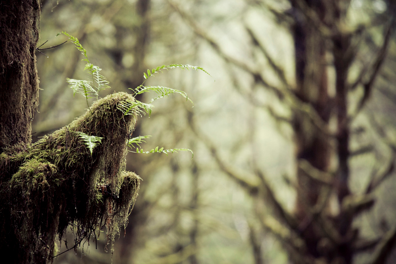Licorice Ferns in a deep forest.