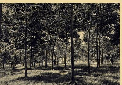 1960 - repovoamento florestal com a essencia Maesopsis eminii
