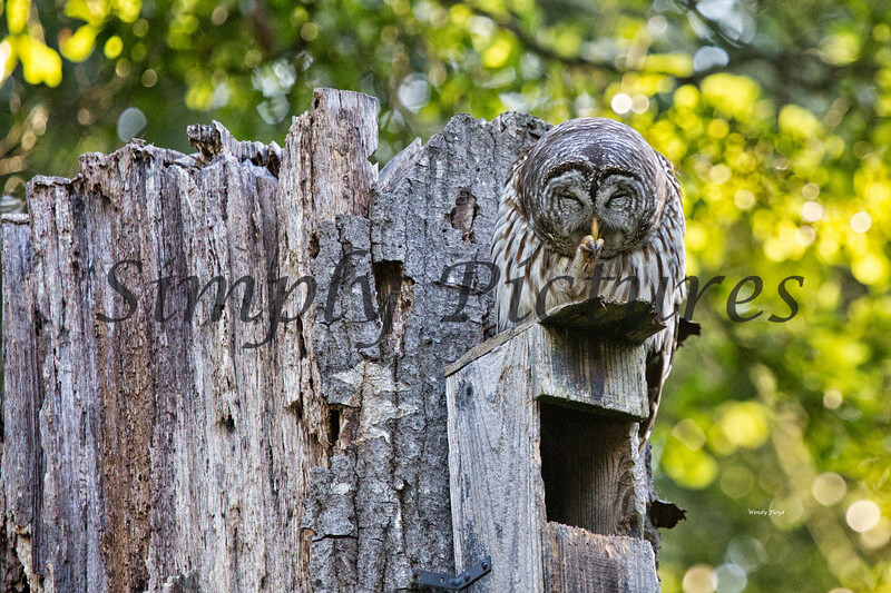 Owl  (26)
