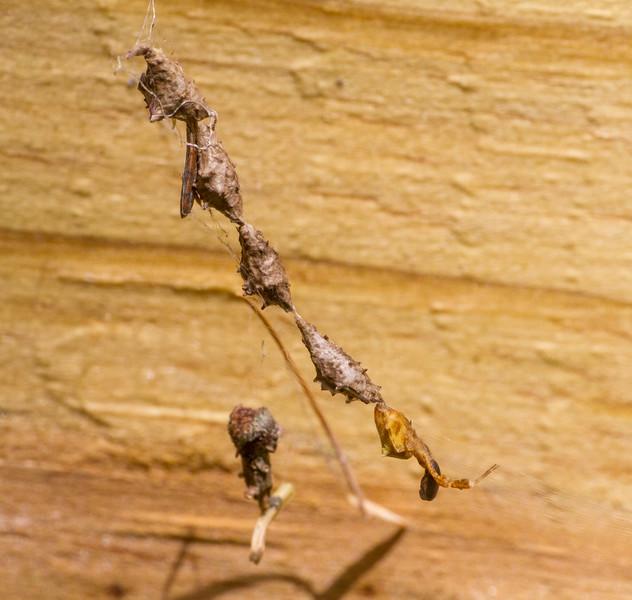 Uloborus glomosus Feather-legged Orbweaver in web with multiple egg sacs Warren Woessner Bog Boardwalk at Warren Nelson Memorial Bog Sax-Zim Bog MN IMG_1575.jpg