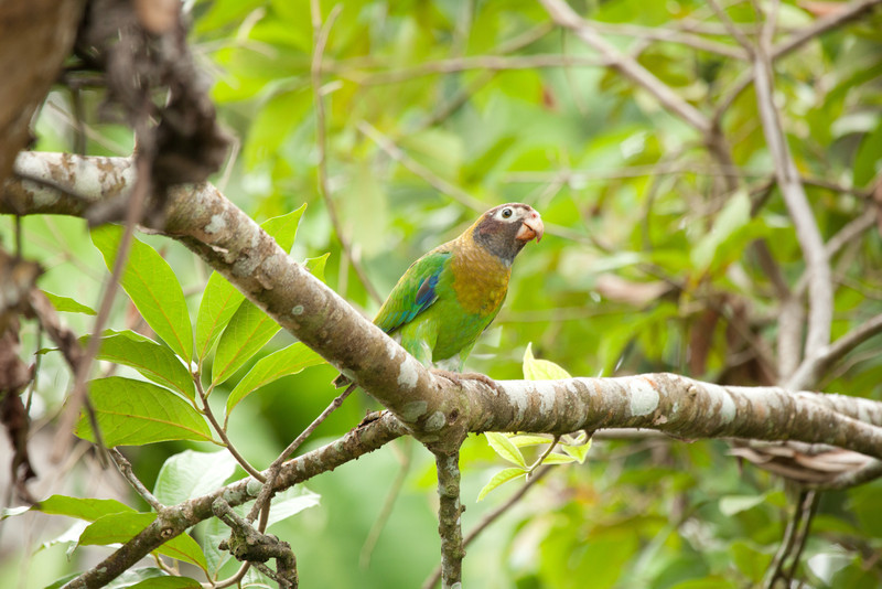 Brown-hooded Parrot