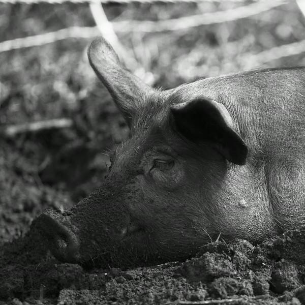 Pig_6774.jpg