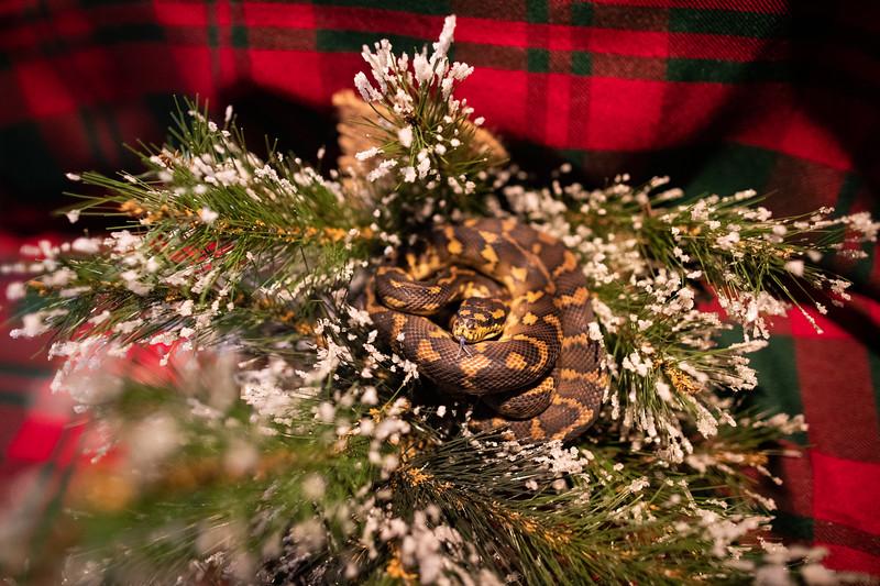 ChristmasSnakes19_0011.jpg