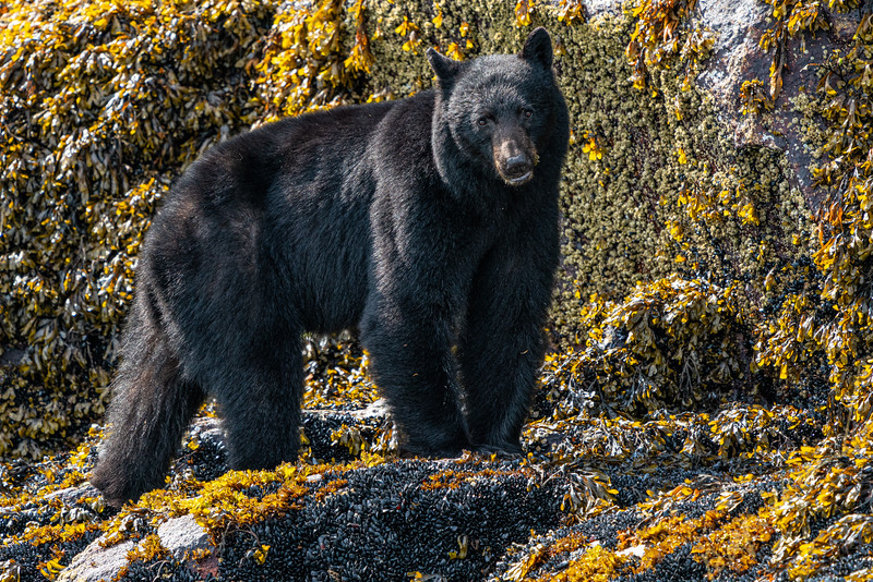Black bear standing along the low tide line along the Knight Inlet shoreline, First Nations Territory, British Columbia, Canada