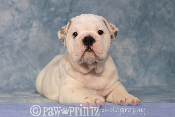 monty & buzi puppies