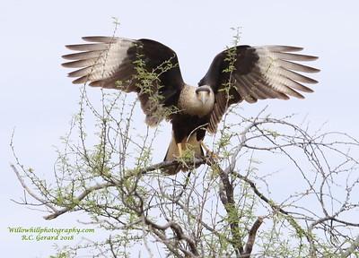 Laredo Birding Festival