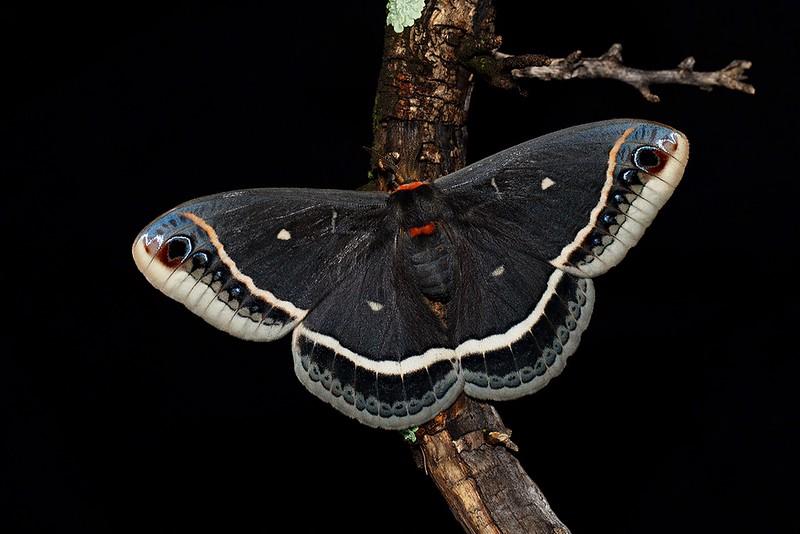 Caletta moth small srgb.JPG