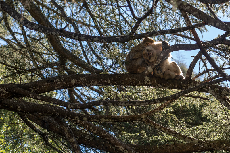 Barbary macaques in Ifrane National Park