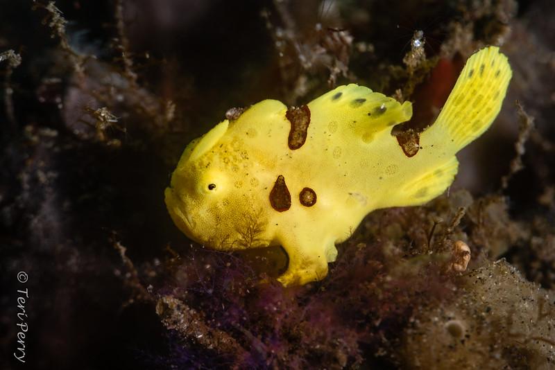 FISH - frogfish baby-0186-Edit.jpg