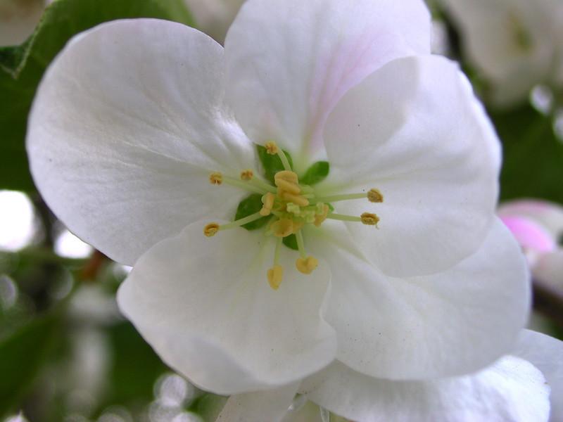 white bloom 26.JPG