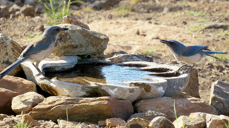 Jay male female birdbath.jpg