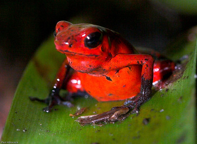 Dendrobates pumilio-strawberry poison dart frog (3)_061107_9