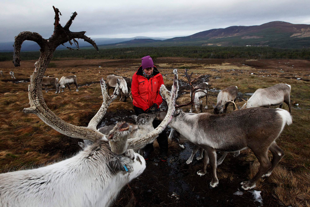 Description of . Reindeer gather around herder Anna Jemmett, from the Glenmore Reindeer Centre, to eat lichen from her hands in the Cairngorm Mountains near Aviemore, Scotland December 28, 2012. The 150 strong Cairngorm Reindeer Herd is Britain\'s only herd of reindeer. REUTERS/David Moir