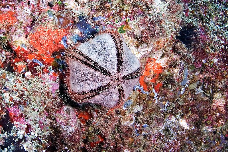 Collector Urchin .jpg