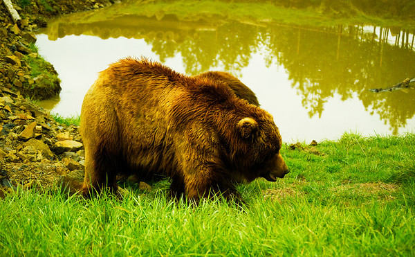 Brown Bears (Grizzly)