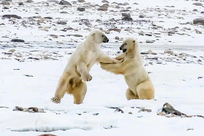 Polar Bears of Churchill and Hudson Bay - Nov 2016