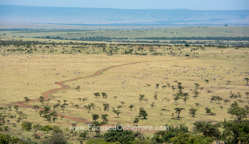 View towards Porini Lion with lots of Zebra