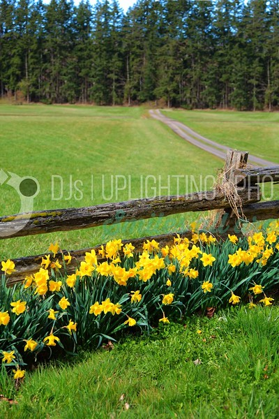 Daffodils at the Fence_batch_batch.jpg