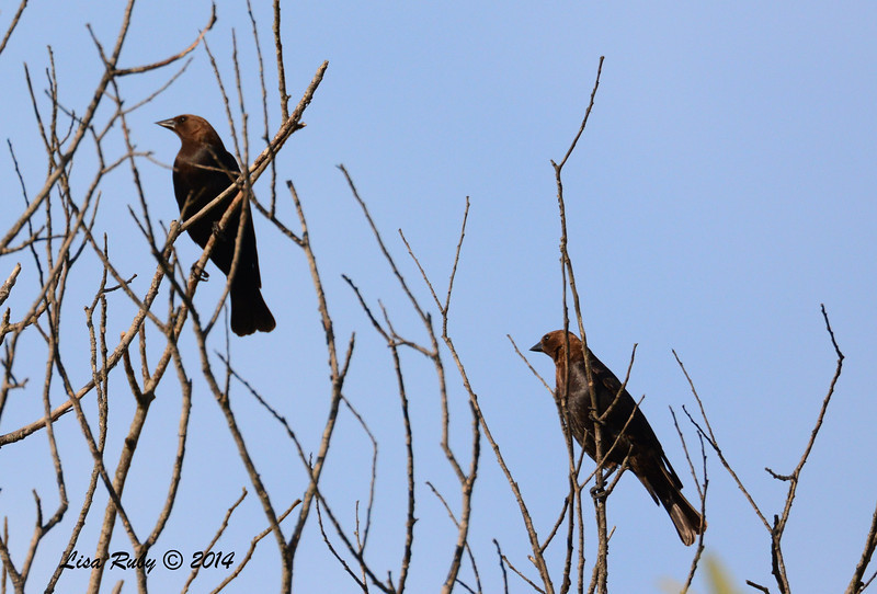 Brown-headed Cowbirds - 5/4/2014 - Mission Trails Regional Park