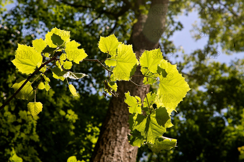 Sycamore Tree Leaves