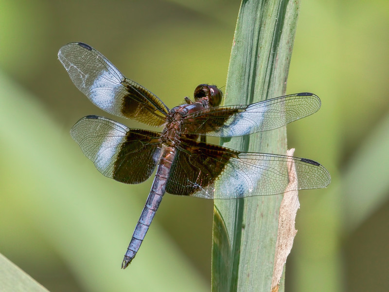 Male, White Clay Creek SP