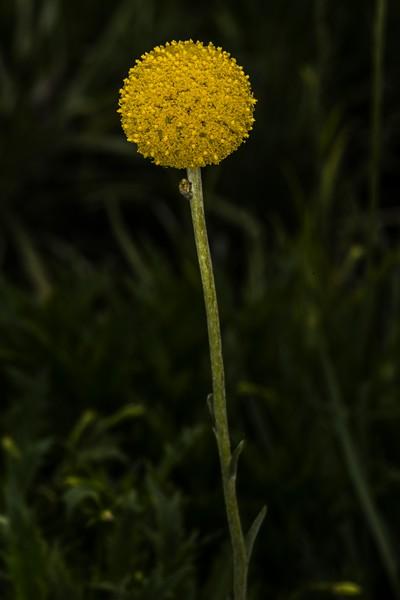 DSC_1877 ball flower CBG  BkGrndDrknd PS- LL NEF.jpg