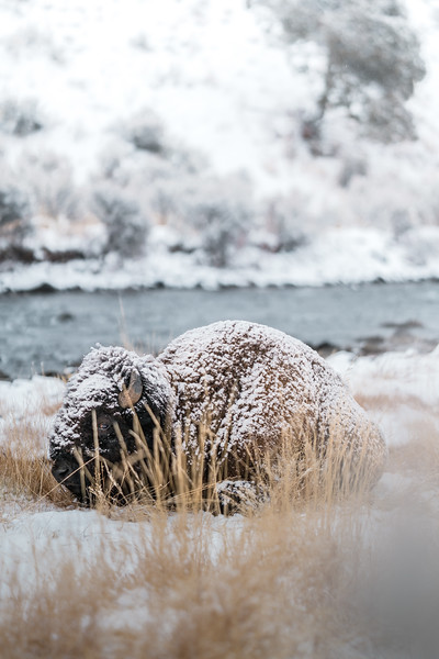 Snow-Covered Bison