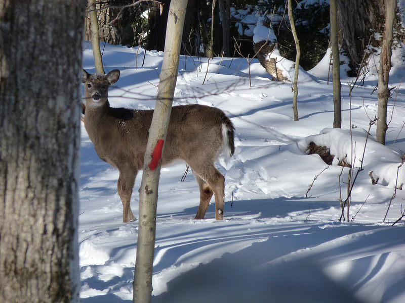 Deer Photo by Andrea Chappell