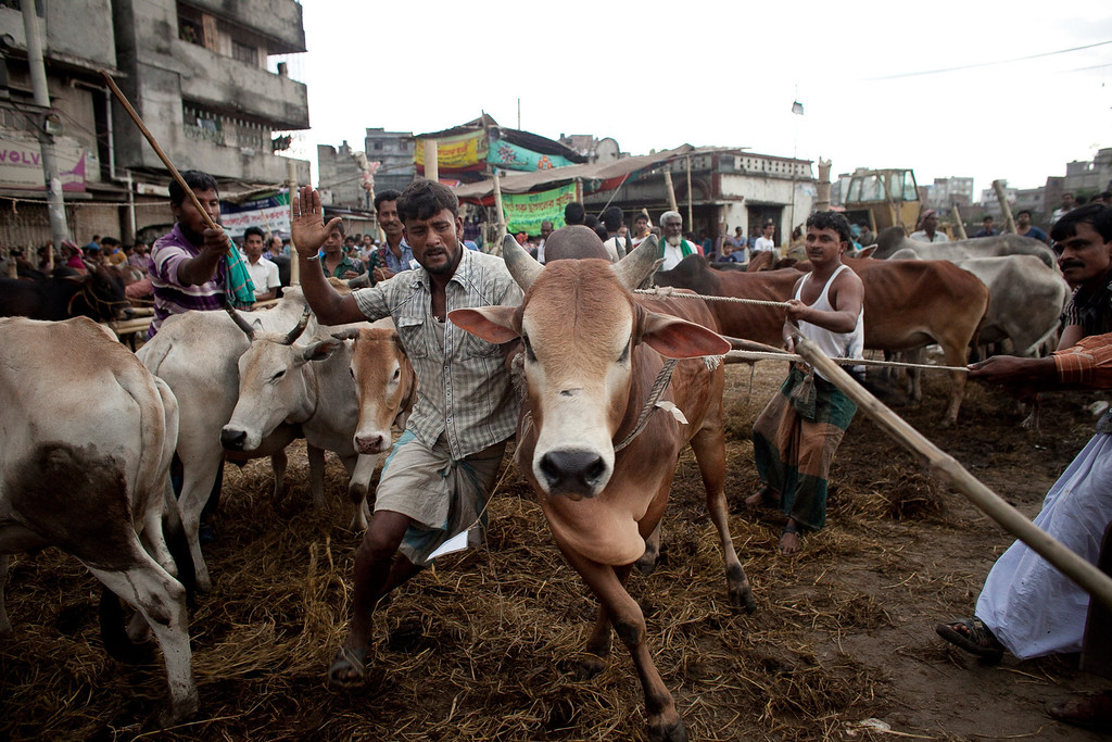 . Men struggle to control a cow at a cattle market on October 15, 2013 in Dhaka, Bangladesh. Eid Al-Adha, known as the \'Feast of the Sacrifice\', is one of the most significant festivals on the Muslim calendar and lasts for four days. The holiday marks the end of the Haji Pilgrimage and serves as a day to remember the Islamic profit Ibrahim, and his willingness to sacrifice of his son, Ismail (Ishmael) as an act of submission to Allah, before Allah intervened and gave Ibrahim a lamb to slaughter in the place of his son. On this day, Muslims in countries around the world start the day with prayer and spend time with family, offer gifts and often give to charity. It is customary for Muslim families to honor Allah by sacrificing a sheep or goat and sharing the meat amongst family members.  (Photo by Getty Images/Getty Images)