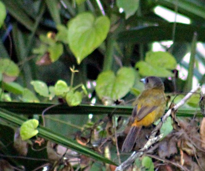 Passerini's Tanager female