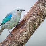 Blue and Gray Tanager